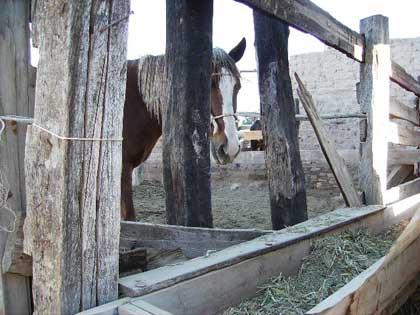 horsepeyote