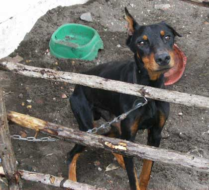 starving_dog