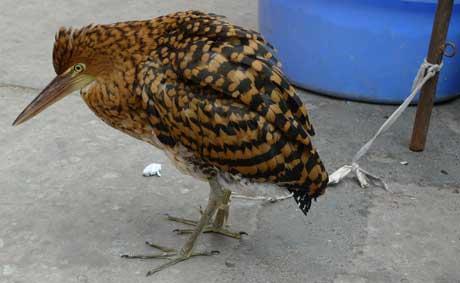 bird_yurimaguas_peru