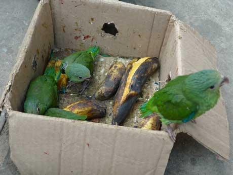 parrots_yurimaguas_peru