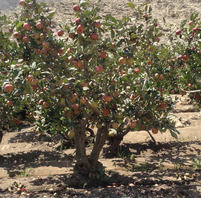 apple_trees_peru