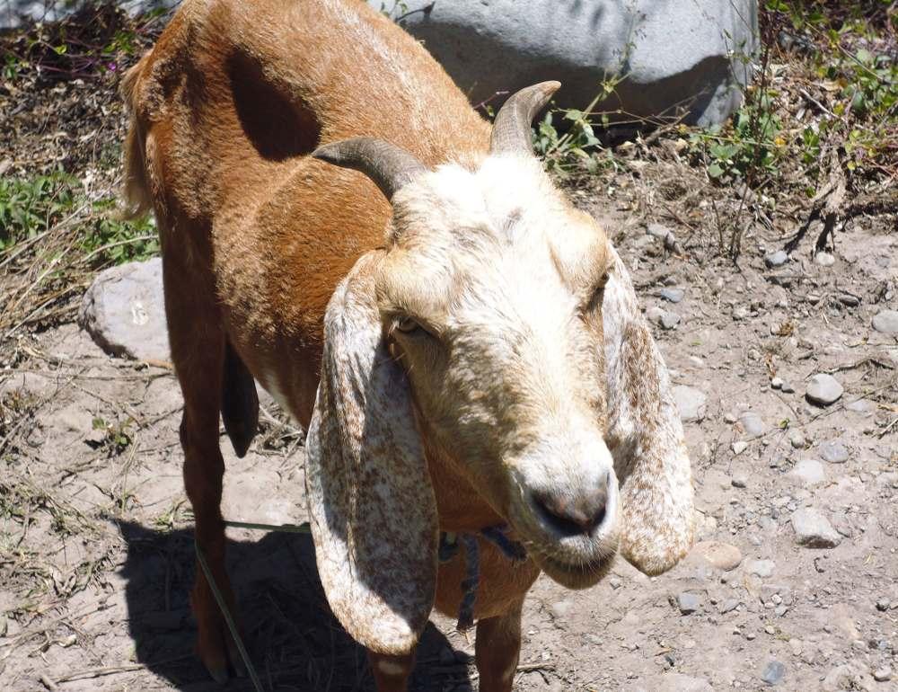 viscas_peru_goat