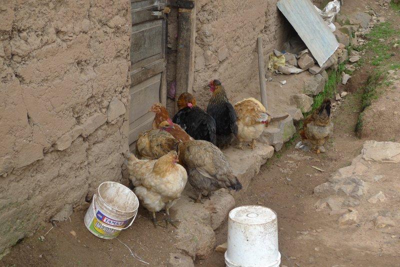 santa_catalina_peru_chickens