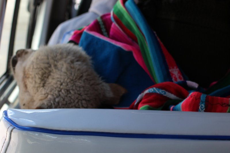 sheep_passenger_peru
